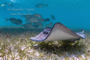 Ray with jacks, San Pedro Belize by Alejandro Topete 